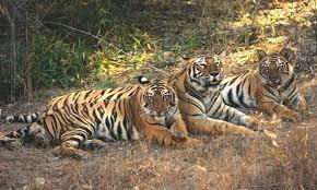 fona pench jungle safari